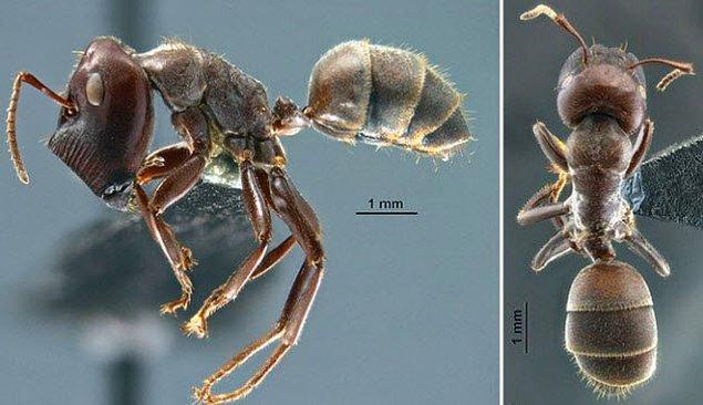 4. İntihar saldırganı gibi patlayan karıncalar