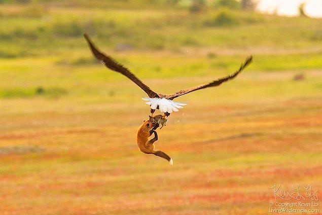 """""""Kızıl tilki tavşanı yakalamış, çayırda taşıyordu. Olayı yakalamak için kameramı ona çevirdim."""""""