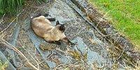 Yakaladığı Tavşanı Baykuşa Kaptıran Şanssız Kedi
