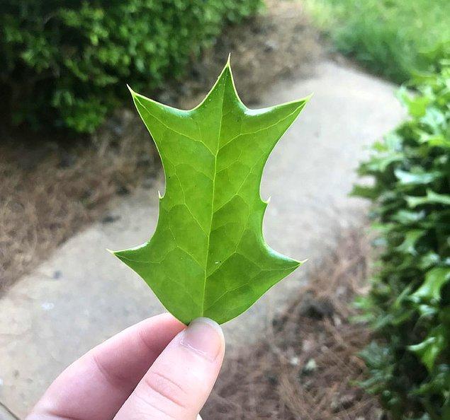16. Keşfedilen değişik bir yaprak türü.