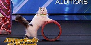 Bu Kedilere Hayran Kalacaksınız! Yetenek Yarışmasına Katılan Minnoş Kedilerin İzleyeni Büyüleyen Yetenekleri