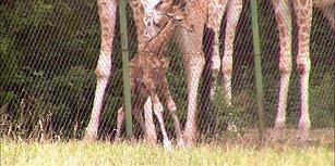 Dünyaya Yeni Gelen Zürafanın İçinizi Isıtacak Ayağa Kalkma Savaşı