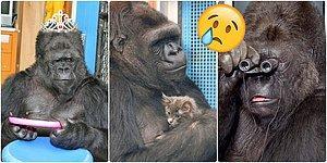 Hepimizin Tanıdığı İşaret Diliyle Konuşabilen Goril Koko 46 Yaşında Dünyaya Veda Etti