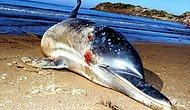 Hayvanlara Yönelik Şiddet Denizlere Sıçradı: Bodrum'da 8 Kurşunla Öldürülen Yunus Karaya Vurdu