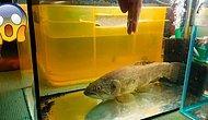 Akvaryumdaki Kurt Balığına Elini Uzatınca Ne Olacağını Merak Eden Gencin Hazin Sonu