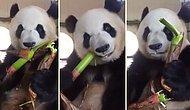 Bambu Yerken Kaydedilen Görüntüleriyle İnsanın İştahını Açan Minnoş Panda