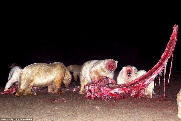6. Kutup ayıları bir balina leşi bulursa...