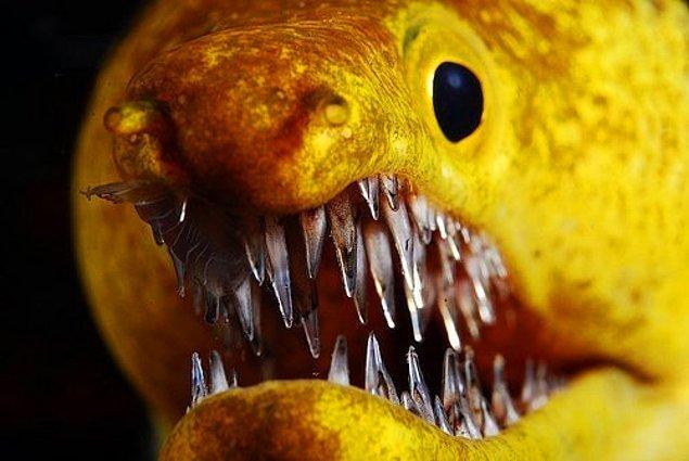 12. Müren balığının dişleri.