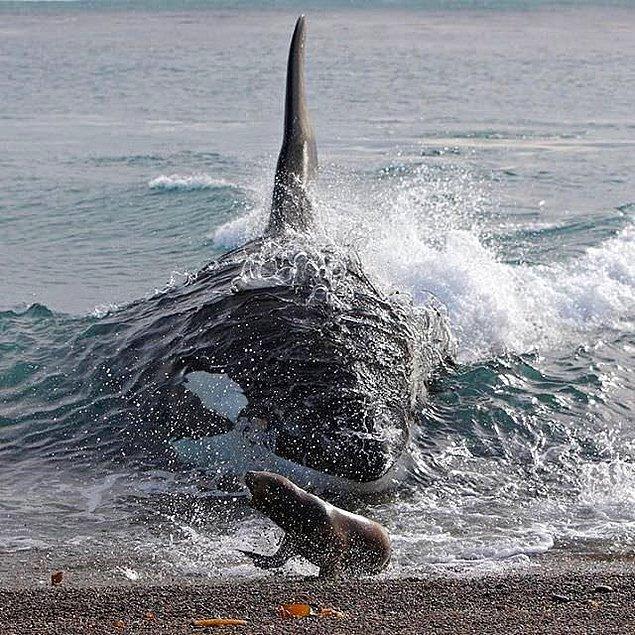 16. Katil balina, avına çok çok yakın!