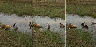 Yavrularını Tilkinin Saldırısından Koruyan Kaz Ailesi