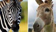 Eşeği Zebra Gibi Görünmesi İçin Siyah Beyaz Çizgilerle Boyayıp Sergileyen Hayvanat Bahçesi