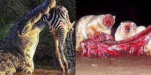 Doğanın Minnoş Bir Ev Kedisi Değil, Parçalanmış Bir Zebra Omurgası Olduğunu Gösteren 26 Ürkütücü Fotoğraf