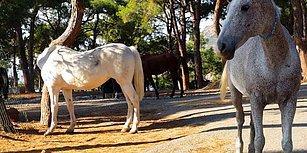 Bakanlık Atların Çalışma Koşullarına Düzenleme Getiriyor: 6 Saat Çalışacaklar, Doğum İzni Verilecek