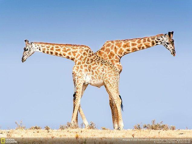 7. Zürafa tangosu, Tanzanya