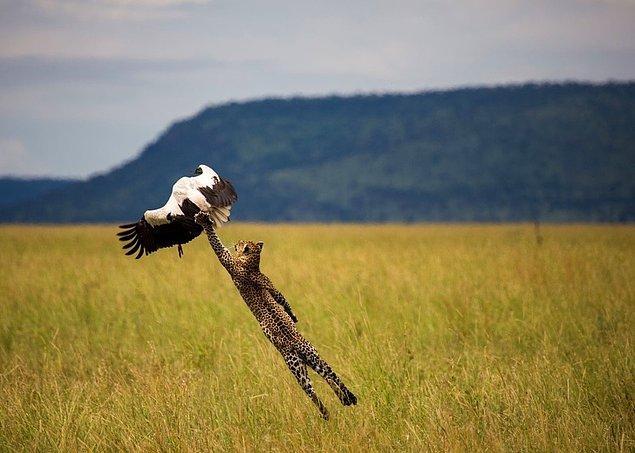 20. Leopar leylek avlıyor, Tanzanya