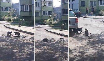Kedileri Kavga Ettirebilmek İçin Elinden Geleni Yapan Psikopat Karga