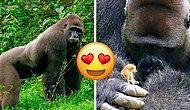24 Yaşındaki Gorilin, Ormanda Tanıştığı Minikle Olan Dostluğu Hepinizin İçini Sevgiyle Dolduracak!