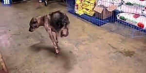Arka İki Bacağını Trafik Kazasında Kaybettikten Sonra Tekerlekli Sandalyeyi Reddedip Hayata Tutunmaya Çalışan Köpek