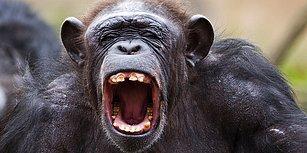 Uzun Yaşamanın Sırrını Şempanzelerden Öğrenebilirsiniz: Çevrenizle İyi Geçinin ve Herkese İyi Davranın!