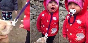 Yavru Keçiye Kaptırdığı Emziğini Geri Almaya Çalışan Ufaklığın Efsane Mücadelesi