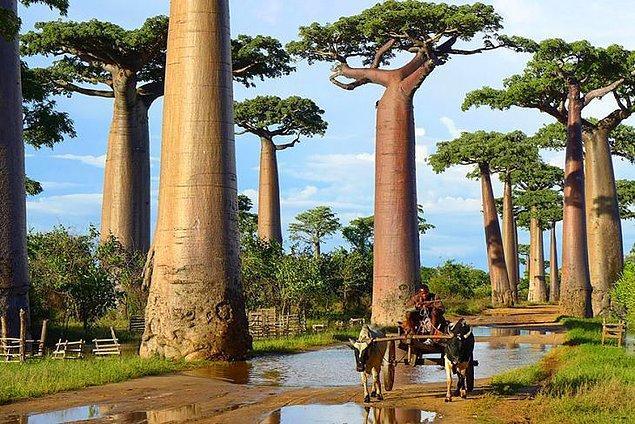 1. Baobab ağaçları (Madagaskar)