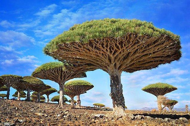 9. Ejderha Kanı Ağacı (Yemen)