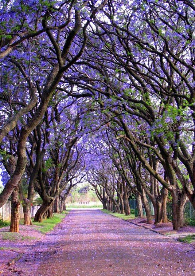 11. Jakaranda Ağaçları (Güney Afrika)