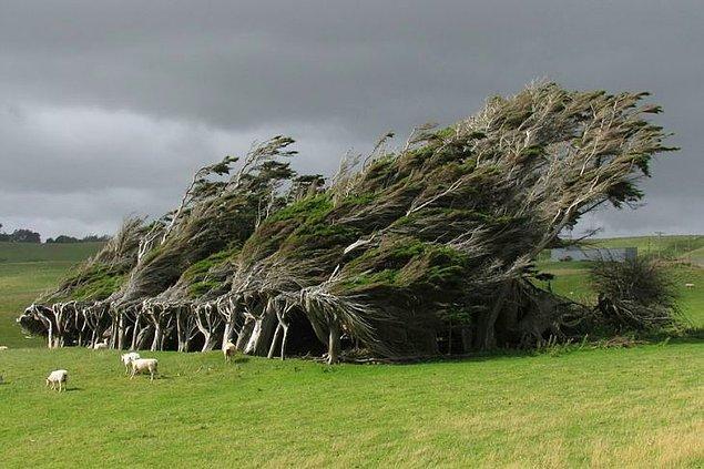 12. Kuvvetli rüzgarlardan bükülmüş ağaçlar (Yeni Zelanda)