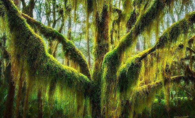 6. Yosun kaplı Güney Kayın Ağacı (ABD)