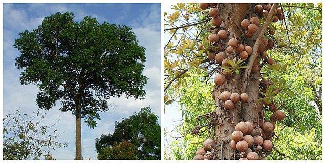 Brezilya cevizi, ağaçta yetişen Hindistan cevizi benzeri yuvarlak bir meyvenin içinden çıkar.