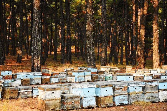 Arı ölümleri, ayçiçek, pamuk, susam, mısır ve narenciye gibi kültür bitkilerinin nektar kaynağı olarak kullanıldığı sahalarda görülüyor.