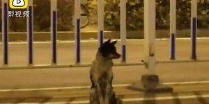 Geri Dönmesi Umuduyla Yerinden Ayrılmıyor! Çin'de Bir Köpek, Sahibinin Öldüğü Yerde 80 Gündür Bekliyor