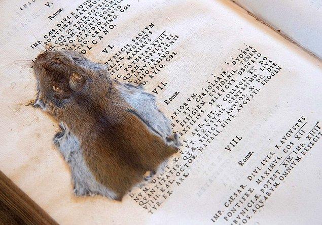 3. 19. yyda öğrenciler tarafından ezilen bir fare, İngiltere'de bulunan bir kütüphanedeki kitabın sayfaları arasında muhafaza edildi.