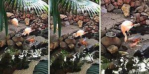 Balıkları Tek Tek Besleyen Flamingo
