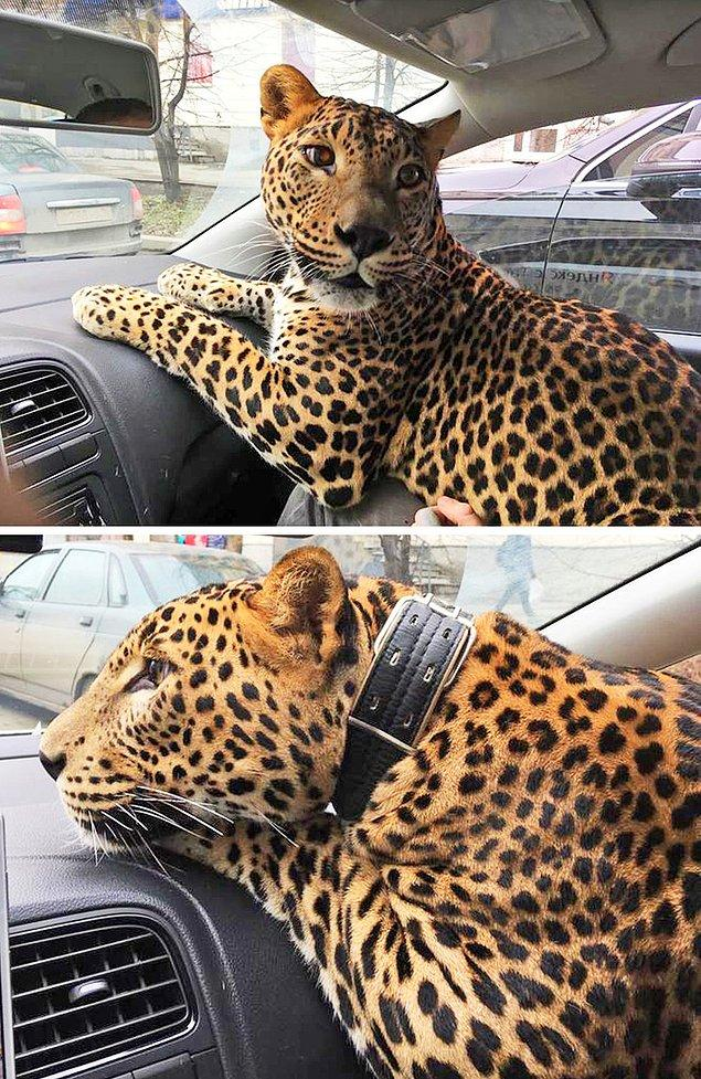 """22. """"Taksi çağırırken yolcunun yanında bir de orta boy bir kedi olacak notu düşülmüş."""""""