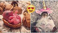 Buldukları Yavru Sincabı Evlatları Gibi Yetiştirdikten Sonra Dünyanın En Sevimli Evcil Hayvanına Sahip Olan Çift