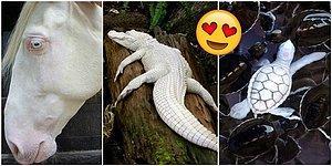 Güzel Olmak İçin Hiçbir Renge İhtiyaç Olmadığının Kanıtı Niteliğinde Sıra Dışı 23 Albino Hayvan