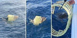 Plastik Sepete Sıkışmış Deniz Kaplumbağasını Kurtaran Güzel İnsanlar