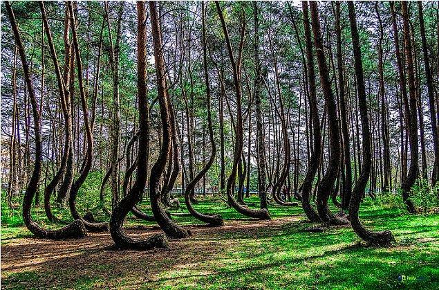 9. Polonya'da The Crooked Forest ismindeki eğri büğrü bir orman: