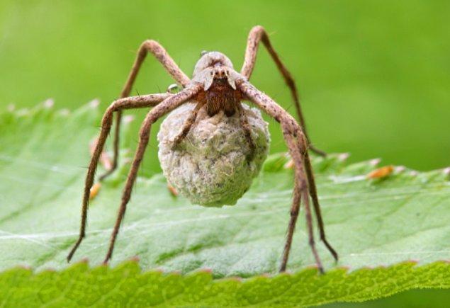14. Erkek örümcekler, böcek yakalayıp dişilerine getirmek zorundalar. Dişi böceği yedikten sonra çiftleşebilirler.