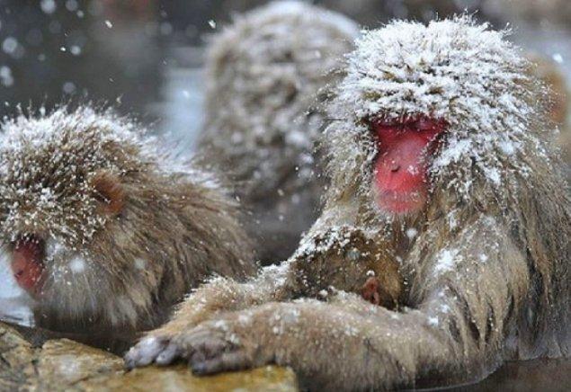 17. Kar maymunları yiyeceklerini yemeden önce tuzlu suda yıkarlar.