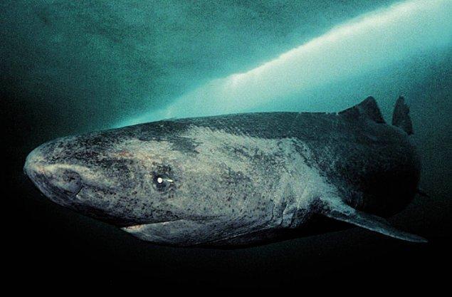 13. Ommatokoita elongata adı verilen kabuklu hayvanlar, bazı köpek balıklarının kornealarında yaşarlar ve kör edene kadar gözlerini yerler.