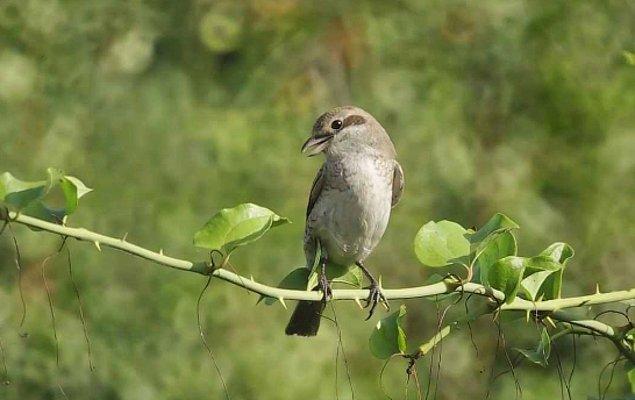 12. Kuzeyli örümcek kuşları yemek artıklarını daha sonra yemek için biriktirirler.