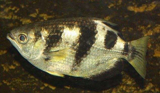 3. Okçu balıkları suyun üzerindeki böcekleri yemek için ağızlarının iç kısımlarından ok fırlatırlar ve avlarını öldürürler.