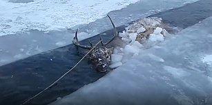 Buz Tutmuş Nehre Düşen Geyiği Kurtararak Hayatta Tutan Güzel İnsanlar!