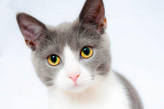 Eğer bir kedi, sahibi onu sebze-ağırlıklı beslenmeye zorladığı için hastalanırsa, sahibi hakkında suç duyurusunda bulunulacak.