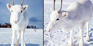 Norveçli Fotoğrafçının Doğa Yürüyüşünde Karşılaştığı Nadir Görülen Beyaz Ren Geyiği ve Yavrusu