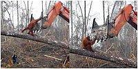 Dünya Sadece İnsanlara Ait Değil! Evini Korumak İçin Buldozer ile Mücadele Eden Orangutan