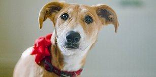 Onlar Hediye Değil! Yeni Yıl Hediyesi Olarak Köpek Sahiplenmeyin!