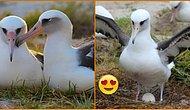 Hala 2006 Yılında Bulduğu Partneriyle Beraber! 68 Yaşındaki Dünyanın En Yaşlı Kuşu Wisdom, 37. Kez Anne Oldu